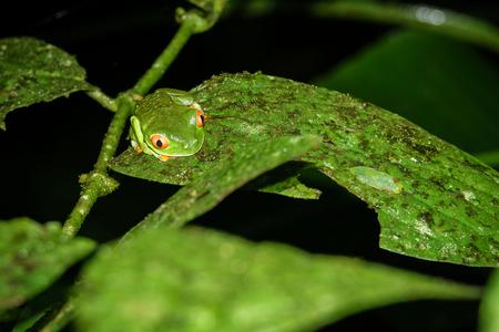 Red-eyed Tree Frog, Agalychnis callidryas by night in Costa Rica