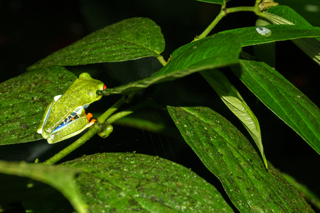 Red-eyed Tree Frog closeup Agalychnis callidryas by night in Costa Rica Stock Photo
