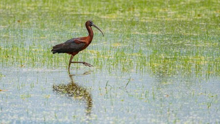 Ibis bird searching for food in rice field Stock Photo