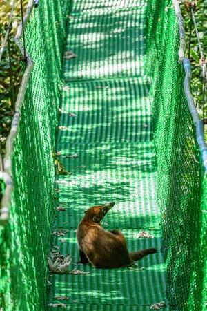 Wild coati over suspension bridge Stock Photo