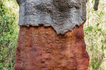 Stripped Cork Tree trunk Stok Fotoğraf
