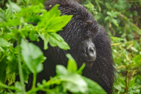 Mountain gorilla thinking in the forest