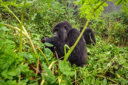 Mountain gorilla feeding in the forest