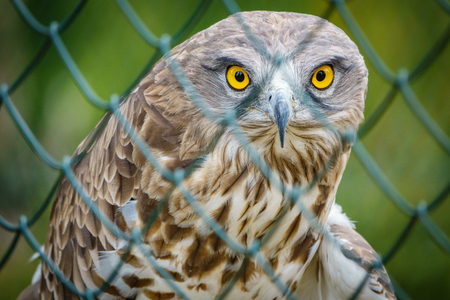 Short toed Eagle behind cage Stock Photo