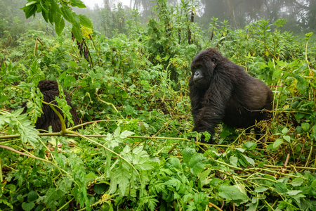 Mountain gorilla walking in the forest