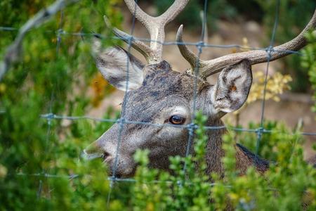 Male deer behind railings Stock Photo