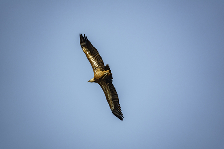 Vulture flying in the sky Stock Photo