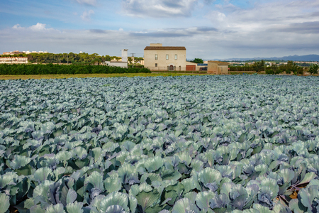 Cabbage plantation and house