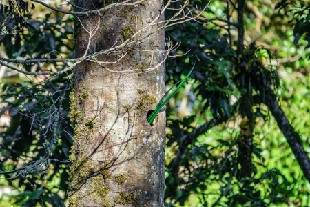 Beautiful Quetzal tail feathers outside nest in nature tropic habitat of Costa Rica