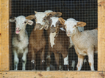 Close-up of young goats cattle behind grille Stock Photo