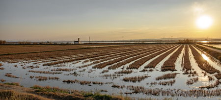 Flooded rice fields at dusk, wide angle