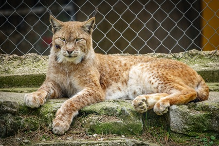 Wounded lynx in a cage