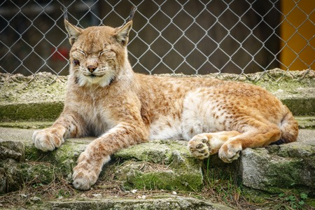 Wounded lynx in a cage with closed eyes