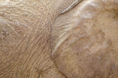 Elephant ear and skin background