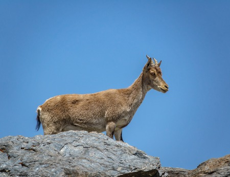 Mountain goat on the top of the rock Imagens