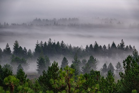 Sunrising with mist in pine tree forest Stock Photo