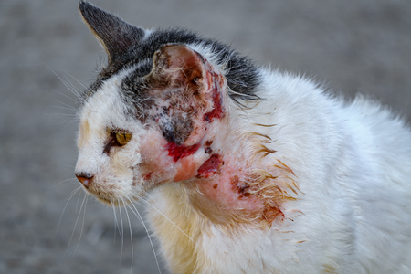 Injured street white cat closeup view of neck and head