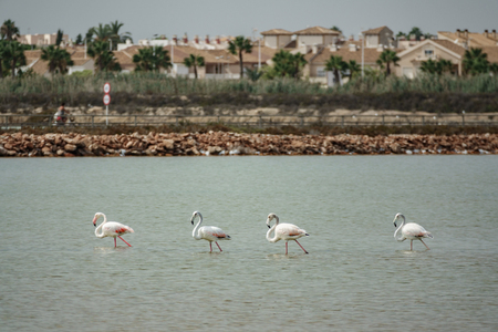 Four flamingos walking in the water against the city