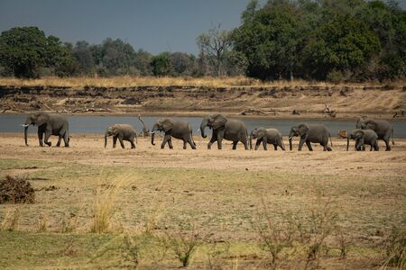 Family of elephants in a row protecting the smallest ones