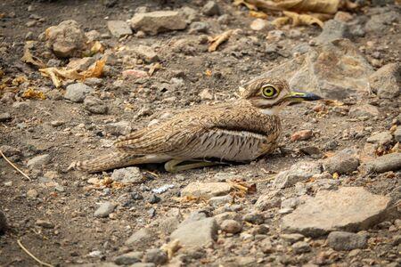 Burhinus oedicnemus thront mit seinem großen Auge am Boden ground