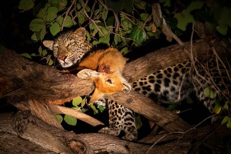 Leopard with pucu over the tree at night