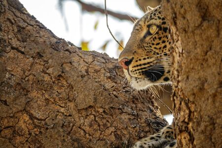 Profile view of leopard face over the tree looking for preys