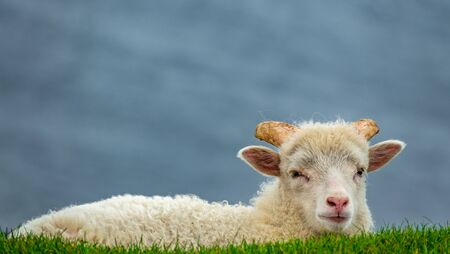 Sheep over the bright green grass looking at the camera