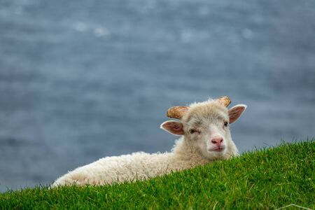 Long shot of baby sheep over the slope with bright green grass