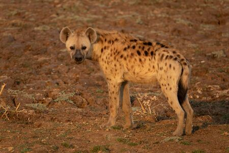 Whole Hyena at the right side of the frame