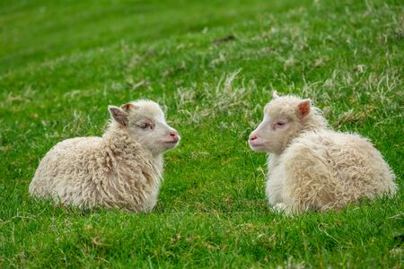 Two small sheep laid down over the grass Stok Fotoğraf