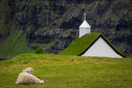 Sheep laid down looking at Saksun church