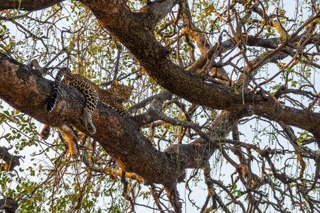 Leopard sprawled on top of tree branch 写真素材