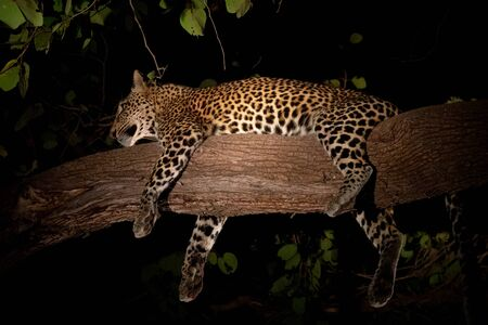 Leopard sprawled on top of tree branch at night