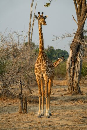 Front view of giraffe in game drive