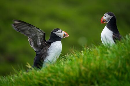 Puffin flirting and flapping wings near other one
