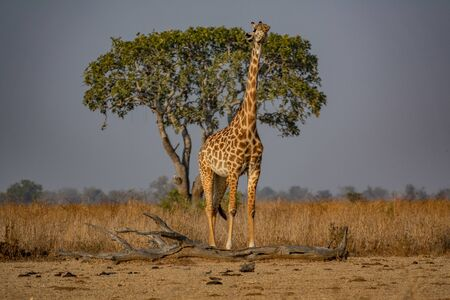 Giraffe looking to heaven with tree in the background Stock fotó