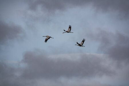 Three cranes flying with open wings, bottom view Stok Fotoğraf