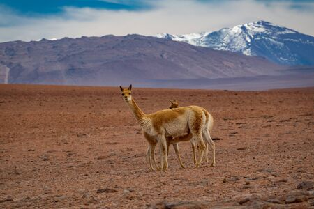Three Vicugna vicugnas in Atacama high plateau with snow covered volcanoes in the background