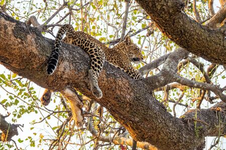 Spectacular leopard sprawled on top of tree branch 写真素材