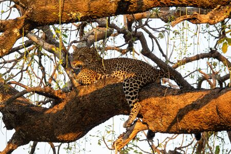 Bottom view of spectacular wild Leopard sprawled on tree