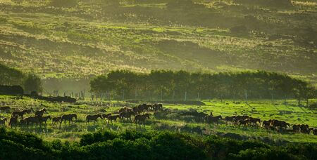 Back light of large group of horses in the grassland at sunset