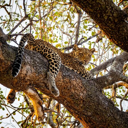 Spectacular leopard sprawled on top of tree branch looking down 写真素材