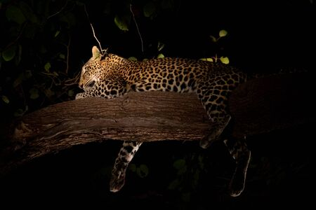 Leopard sprawled on top of tree branch, night view 写真素材