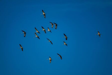 Bottom view of large group of cranes flying against clear blue sky