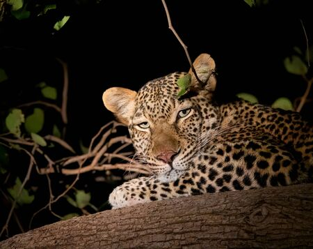 Leopard over the branch at night looking at the camera