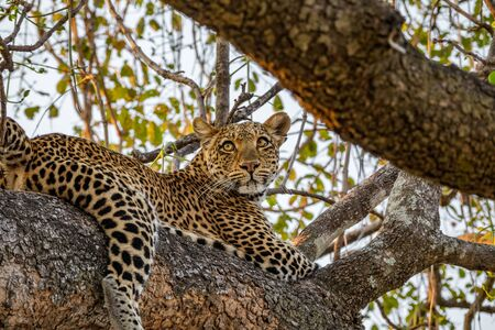 Leopard over tree branch looking to the distance