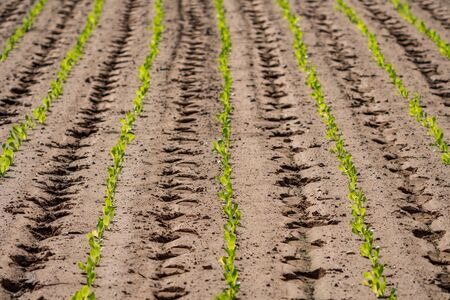 Perespective view of ordered lettuce plantation with footprints on every furrow