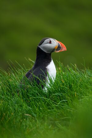 Portrait of puffin looking to the right Imagens