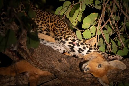 Leopard eating puku antelope on top of the tree at night Imagens