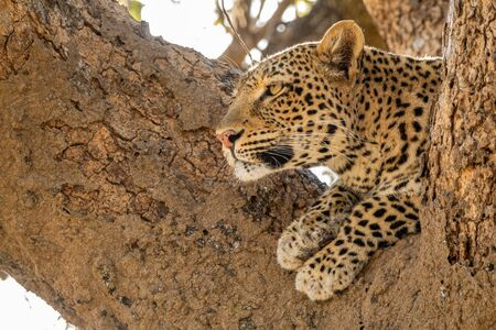 Wild leopard over tree looking into the distance Imagens